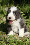 Beautiful bearded collie Royalty Free Stock Images