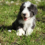 Beautiful bearded collie Royalty Free Stock Photos