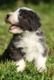 Beautiful bearded collie Stock Photography