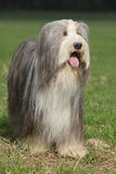 Beautiful bearded collie standing in the nature Royalty Free Stock Image
