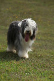 Beautiful bearded collie standing in the nature Royalty Free Stock Photography