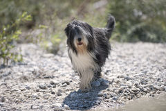 Beautiful Bearded Collie stock photo