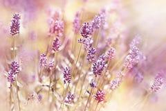 Beautiful, beatiful lavender flower Royalty Free Stock Photography