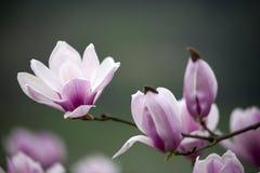 Beautiful beautiful Chinese jade orchid Stock Photography