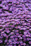 Beautiful bed purple Aster flowers in landscaped garden Royalty Free Stock Photography
