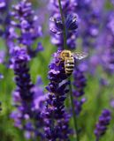 Beautiful bee Royalty Free Stock Images