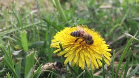 Beautiful bee. bee collects nectar on a dandelion, yellow dandelion, flower, green grass, nature yellow pollen stock footage