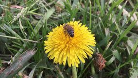 Beautiful bee. bee collects nectar on a dandelion, yellow dandelion, flower, green grass, yellow pollen nature stock video footage