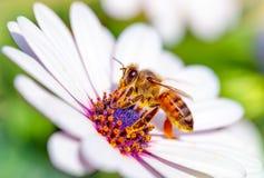 Beautiful bee on daisy Stock Image
