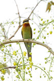 Beautiful bee eater on a beautiful yellow flower tree Stock Photo