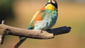 Beautiful bee-eaters sitting on branch. Beautiful bee-eaters sitting on a dry branch , wildlife, unique frames stock video