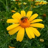 The beautiful bee on the flower Royalty Free Stock Image