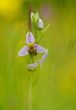 The beautiful bee orchid. This attractive wild flower blooms in June/July in England, its attractive flower mimics a bee from which it is pollinated Stock Images