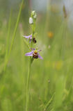 The beautiful bee orchid a master in insect mimicry. This beautiful wildflower is diagnostic of insect mimicry by orchids. A stunning addition to the English Stock Photos