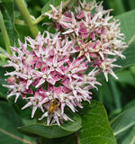 Beautiful bee on a pink swamp milkweed flower. Beautiful bee on a fragrant, pink swamp milkweed flower royalty free stock images