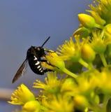 Beautiful bee thyreus histrionicus on aeonium flowers. Bee thyreus histrionicus on wild flowers of aeonium undulatum Stock Image