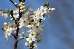 Beautiful bee on top of white pear tree flower growing on single branch surrounded with other open blooming flowers. On clear blue sky background royalty free stock photos