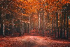 Beautiful forest in autumn. Beautiful beech forest in autumn stock images