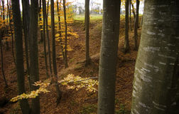 Beautiful beech forest in autumn Stock Photography
