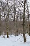 Beautiful Beech Forest Completely Snowy On The Road To The Jump Of The River Snowed Nervion. Nature Landscapes Snow. March 23, 2018. Burgos Castilla-Leon Spain Royalty Free Stock Photography