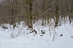 Beautiful Beech Forest Completely Snowy On The Road To The Jump Of The River Snowed Nervion. Nature Landscapes Snow. March 23, 2018. Burgos Castilla-Leon Spain Royalty Free Stock Image