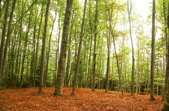 Beautiful beech forest Royalty Free Stock Image