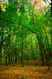 Beautiful beech forest near Rzeszow, Poland Stock Photography