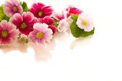 Begonia flowers. Beautiful Begonia flowers on a white background Royalty Free Stock Photo