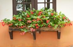 Beautiful begonia. Outside a window Royalty Free Stock Photo