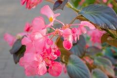 Beautiful Begonia (Poplar) flower. Stock Image