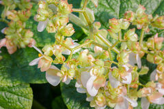 Beautiful Begonia (Poplar) flower. Stock Photography