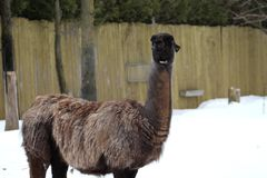 A beautiful beige and brown lama. In the snow on a warm winter day royalty free stock images