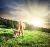 Beautiful beige cow on mountain pasture Stock Photo