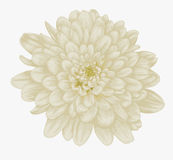 Beautiful beige dahlia isolated on white. Stock Images