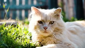 Beautiful beige pedigreed cat lies in the grass and basks in the rays of the sun close-up, slow motion