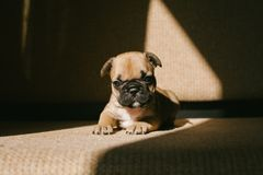 French bulldog puppy on the couch royalty free stock photography