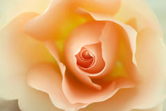 Beautiful beige rose Royalty Free Stock Images