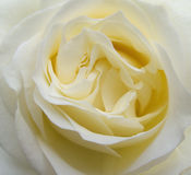 Beautiful beige rose flower blossom extreme Royalty Free Stock Photo