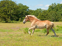 Beautiful Belgian Draft Horse cantering Stock Photo