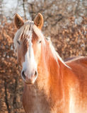 Beautiful Belgian Draft horse watching the viewer Royalty Free Stock Image