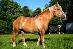 A beautiful Belgian Horse. Eating in pasture Royalty Free Stock Images