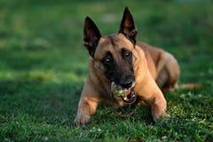 Beautiful belgian shepherd malinois dog Royalty Free Stock Images