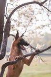 Beautiful belgian shepherd malinois dog Royalty Free Stock Photos