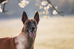 Beautiful belgian shepherd malinois dog Stock Photos