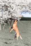 Beautiful belgian shepherd malinois dog Stock Photo