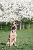 Beautiful belgian shepherd malinois dog Stock Images