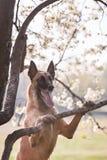Beautiful belgian shepherd malinois dog Royalty Free Stock Photography