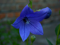 Beautiful bellflower in the garden. Summertime wonders. Stock Photography