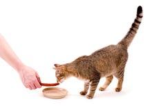 Beautiful bengal cat Royalty Free Stock Images