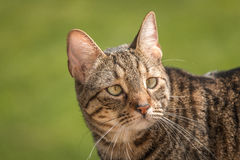 Beautiful Bengal Cat Royalty Free Stock Photo